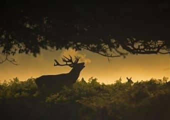 Le brame du cerf en forêt de Chambord, un grand moment de nature !