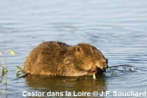 Castor © J.F. Souchard